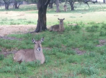 Waterbuck enjoying a cool morning